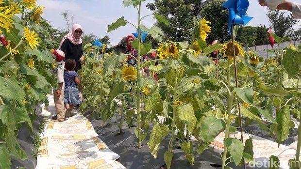 Terkeren 19 Bunga Matahari Langka Keren Tempat Buang Sampah Di Bekasi Disulap Jadi Taman Jual Seed 100pcs Bibit Bunga Matahari W Di 2020 Bunga Menanam Bunga Menanam