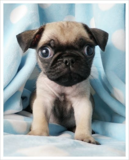Teacup Pug- how adorable! On the to get list ;)