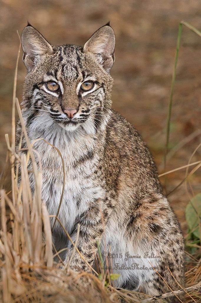 ~~Spot the (wild) Bobcat by Jamie Felton Photography~~