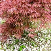 Red Cutleaf Japanese Maple (pruning and care)