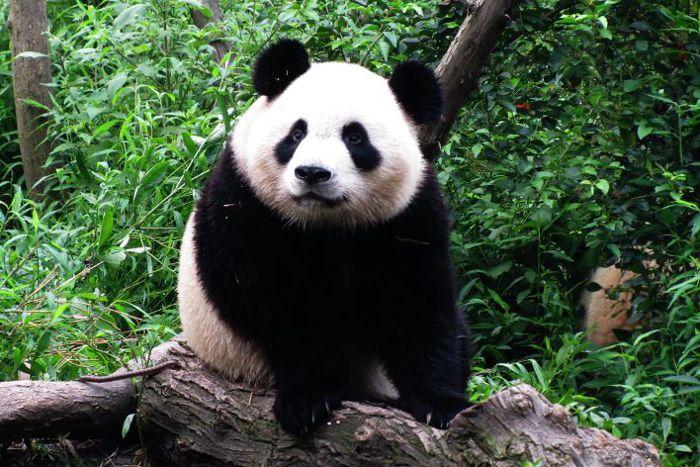 La reserva de pandas gigantes de Chengdu, Sichuan