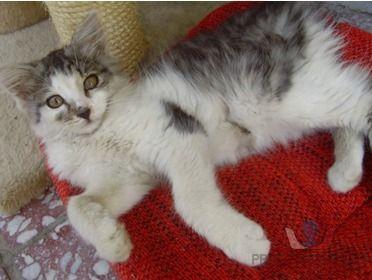 Prodáme chlupaté dlouhosrsté kotě [7v.jpg]