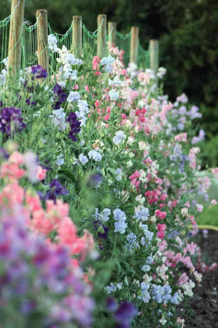 Sweet peas, growing and decorative possibilities