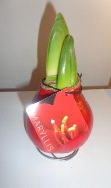 Alege un cadou inedit pentru persoanele dragi: un bulb deosebit invelit in ceara, care nu necesita udare sau plantare in sol si infloreste in maxim 30 de zile, in functie de temperatura camerei. Va dezvolta doua tije florale, care vor sustine 3-4 cupe fiecare, de culoare rosu. Un cadou poznas si unic! Alege sa oferi zambete cu Flori Poznase!