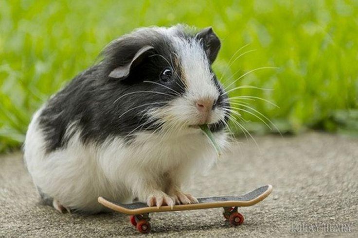 Skateboarding Guinea Pig