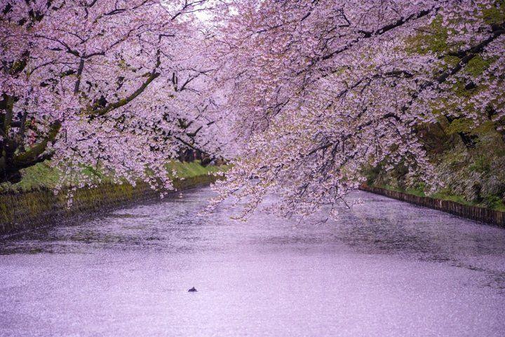 Hirosaki Castle A Famous Cherry Blossom Spot In Aomori Matcha Japan Travel Web Magazine Hirosaki Castle In Aomori Has One Japan Travel Matcha Japan Castle