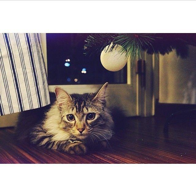 #kucingbikingemes ini kiriman dari : @100percent_sheldon    punya #kucingbikingemes juga? follow dan tag @kucingbikingemes  jangan lupa pakai #kucingbikingemes   via #catsofinstagram #cat #cats #catofinstagram #cat_of_instagram #catstagram #catsoftheworld #catslover #catgram #catagram #catslife #kucing #kucingku #kucinglucu #kucingsaya #kucingimut