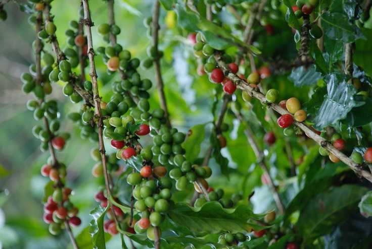 #CostaRica #coffee beans near harvest time. Photographed on a coffee #plantation near San Isidro del General, #PerezZeledon, San Jose.