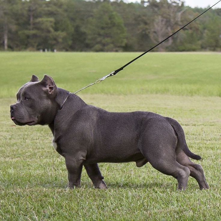 Best Dogs And Puppies Images On Pinterest Cane Corso - Meet hulk possibly worlds biggest pitbull still growing