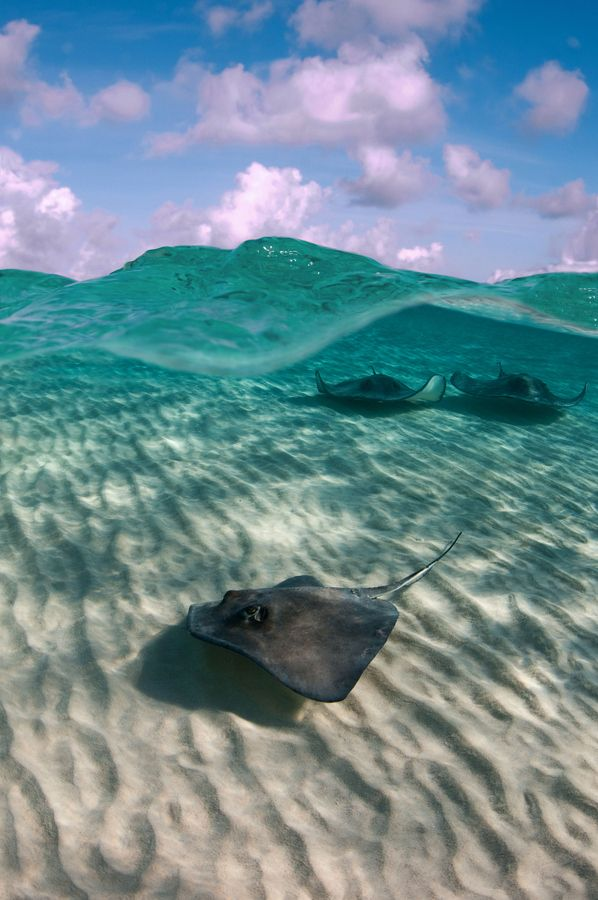Cayman Islands Stingrays