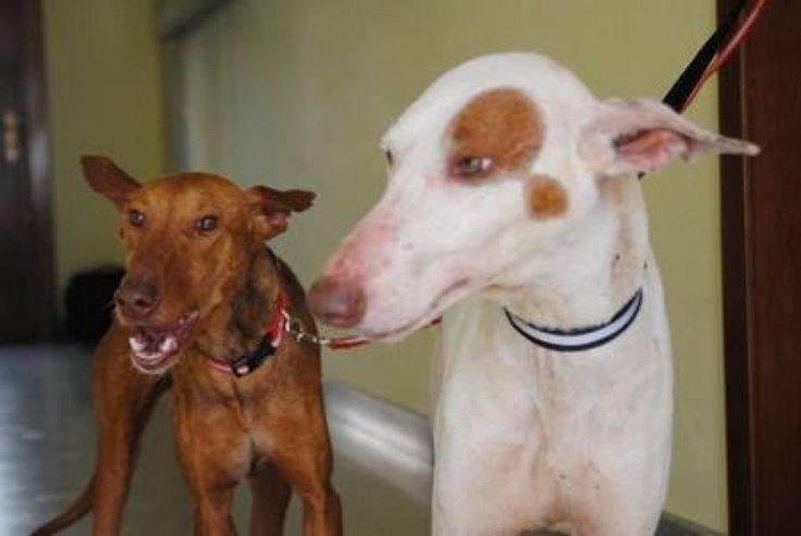 SPECIAL!!!       ROSI&ROSA willen SAMEN blijven!           Zoeken SAMEN een warme KERSTMAND!   http://www.podencoworld.nl/adoptiehonden/honden/1-podencos/212-rosa-en-rosi…
