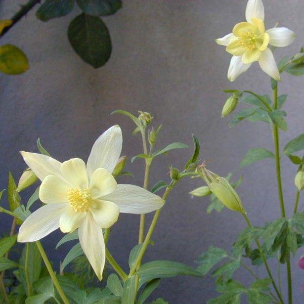 Ancolie blanche, Aquilegia caerulea Snow queen