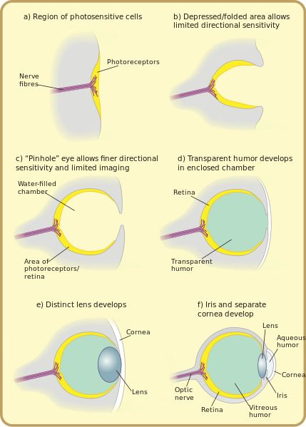 File:Diagram of eye evolution.svg  The different aspects of, and uses for the stages in evolution of the eye