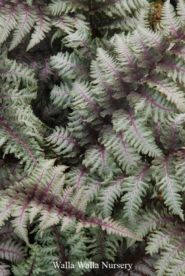 "Japanese Painted Fern 15-24"" tall shade deer resistant"