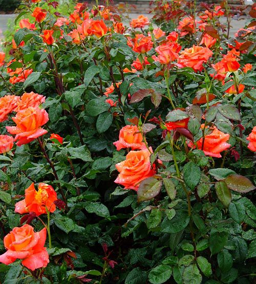 Monica Rose in the planting