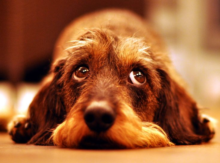 I love wirehaired doxies.