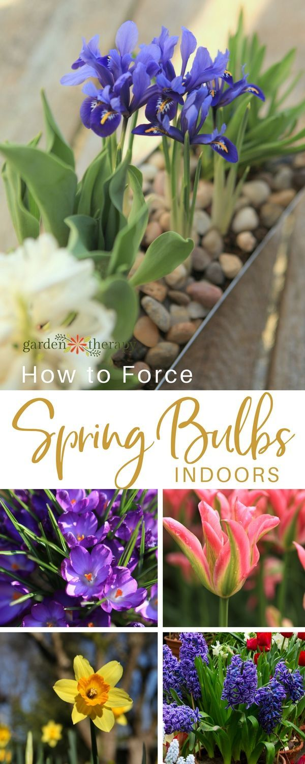Various colorful spring flowers that can be forced to bloom indoors - With a few simple techniques, you can force bulbs to grow early and create a spring garden right in your own home well before they are ready to flower outdoors. #gardening #garden #gardentherapy #springbulbs #forcingbulbs #spring