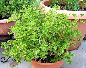 A media sombra, lo cual implica que no puede estar a pleno sol, pero tampoco en un rincón oscuro del salón. Una vez que hayan pasado las heladas, la terraza resultará un buen sitio para el pelargonium citrosum.
