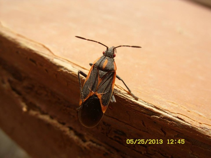 Elder Box bug, I hate these things, they gather and act like roaches UCK!