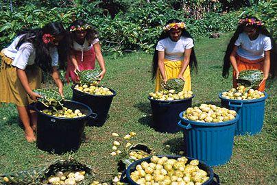 Нони (Morinda citrifolia) - это вечнозеленое растение. Тысячелетиями жители островов Французской Полинезии использовали маленький диковинный плод Нони.