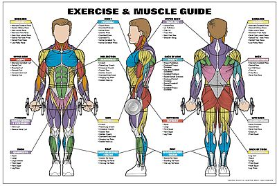 Exercise and Muscle Guide (Male) Fitness Chart (Co-Ed)