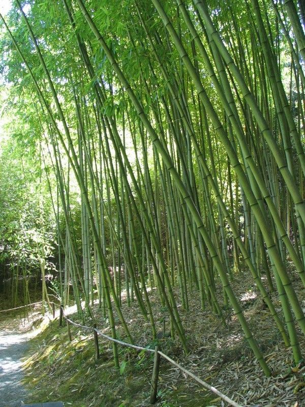 how to grow and care for bamboo in the garden
