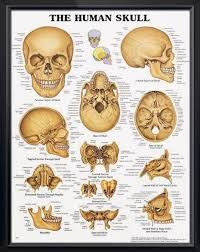21 best cranium images on pinterest anatomy reference anatomy and bildergebnis fr cranium anatomy anatomy referencehuman skeletonhuman skull ccuart Gallery