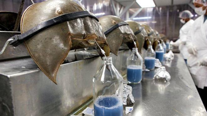 Disso Voce Sabia?: O valioso sangue azul dos caranguejos-ferradura que salva vidas