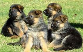 Картинки по запросу собаки немецкие овчарки