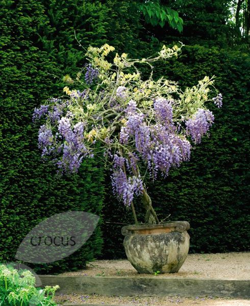 """Wisteria: Can be grown into a """"tree"""" or used as beautiful roofing over an arbor."""