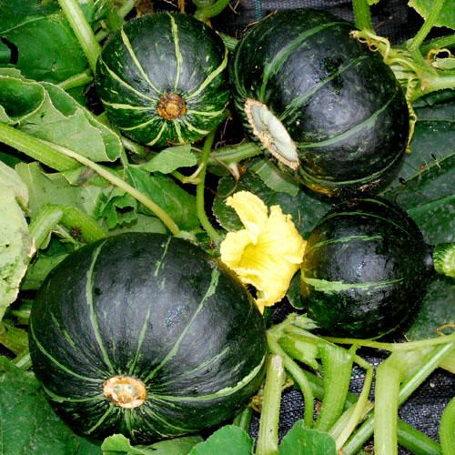 207 Best Melons Squashes Images On Pinterest Exotic 400 x 300