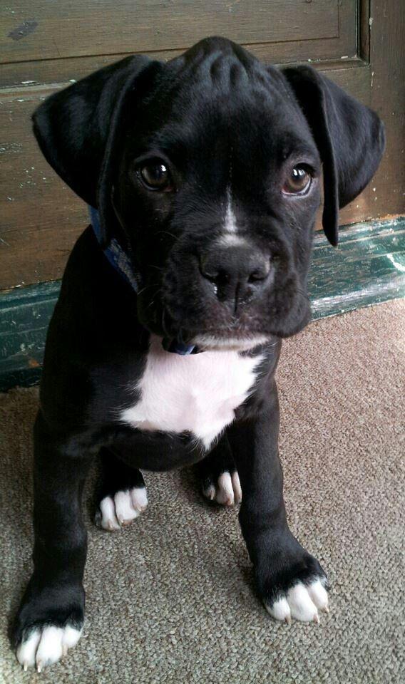 Good Brindle Boxer Bow Adorable Dog - 5ba9a400567a604eae3e26ee87ab0328--black-boxer-puppies-pitbull-boxer  Collection_935142  .jpg