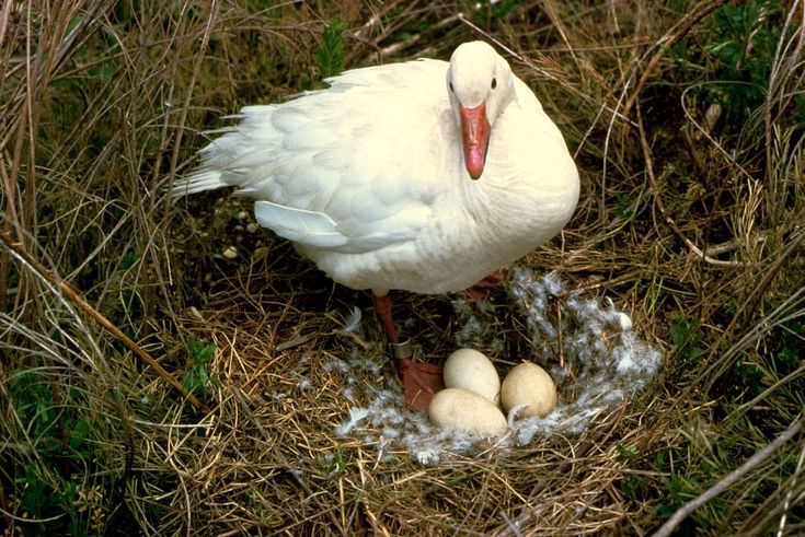Snow goose stands on nest with eggs
