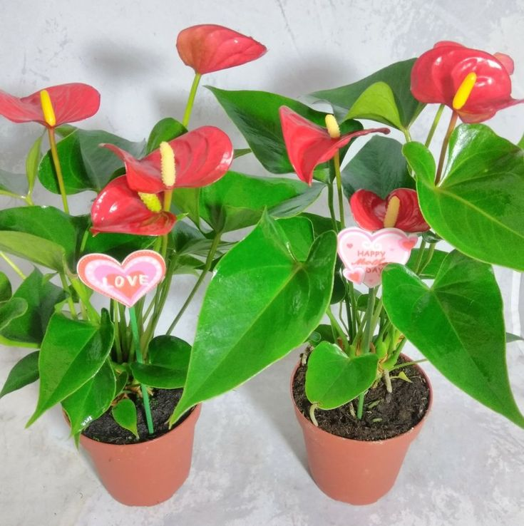 Hawaiian Red Anthurium Plant Mother's Gift Summer Special Bloom All Year Indoor #HawaiianRedAnthurium #Custom