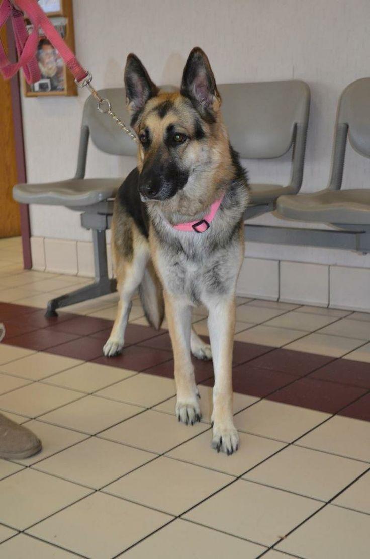 Adopt jade h on german shepherd dogs dogs german