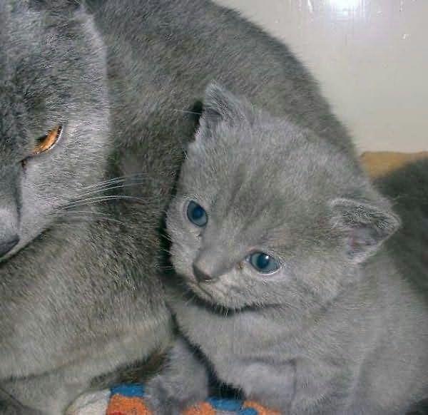 gatos-azul-russo