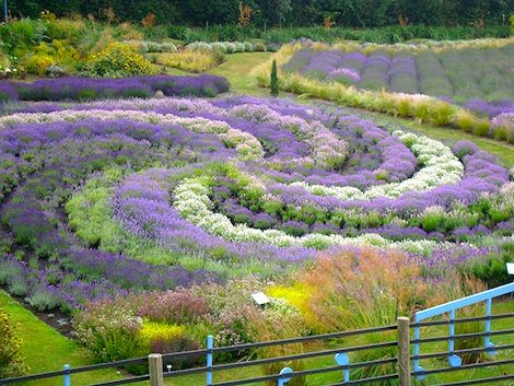 Terrington in North Yorkshire is the venue in July of the English Lavender Festival, a  national celebration of lavender and herbs.
