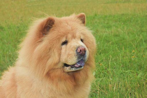 Chow Chow, un perro de peluche… on perros más bien reservados y algo desconfiados de los extraños. Estas características sumadas a su inteligencia, los convierte en excelentes protectores del hogar.