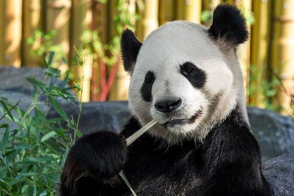 População de pandas-gigantes aumentou 16% na última década. Já não estão em vias…