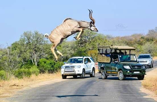 Kudu jumping the road ..Kruger National Park