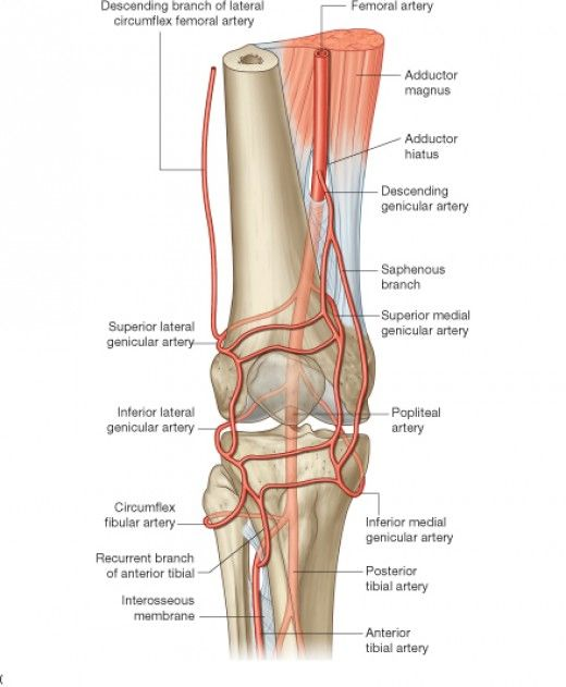 Anatomy of the knee (Bones Muscles Arteries Veins Nerves)