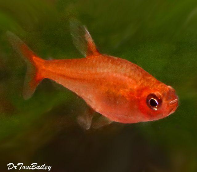 Premium Ember S Tetra 0 75 To 1 Long Goldfish For Sale Tropical Fish Aquarium Fish