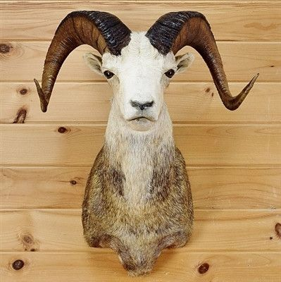Stone Sheep Taxidermy for Sale - SW2641