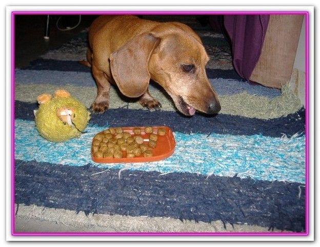 Best Dog Food For Dachshunds Puppies You Can Opt For Puppy Toy