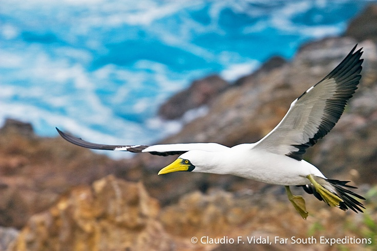 Birding in Easter Island • The Kena or Masked Booby (Sula dactylatra) still nests on the islets south of the crater Rano Kau, Rapa Nui. © Claudio F. Vidal, Far South Expeditions