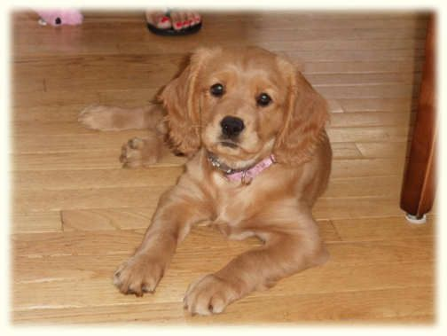 Cavalier King Charles Spaniel + Golden Retriever= petite golden retriever. WANT