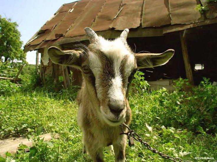 Разведение коз для производства сыра
