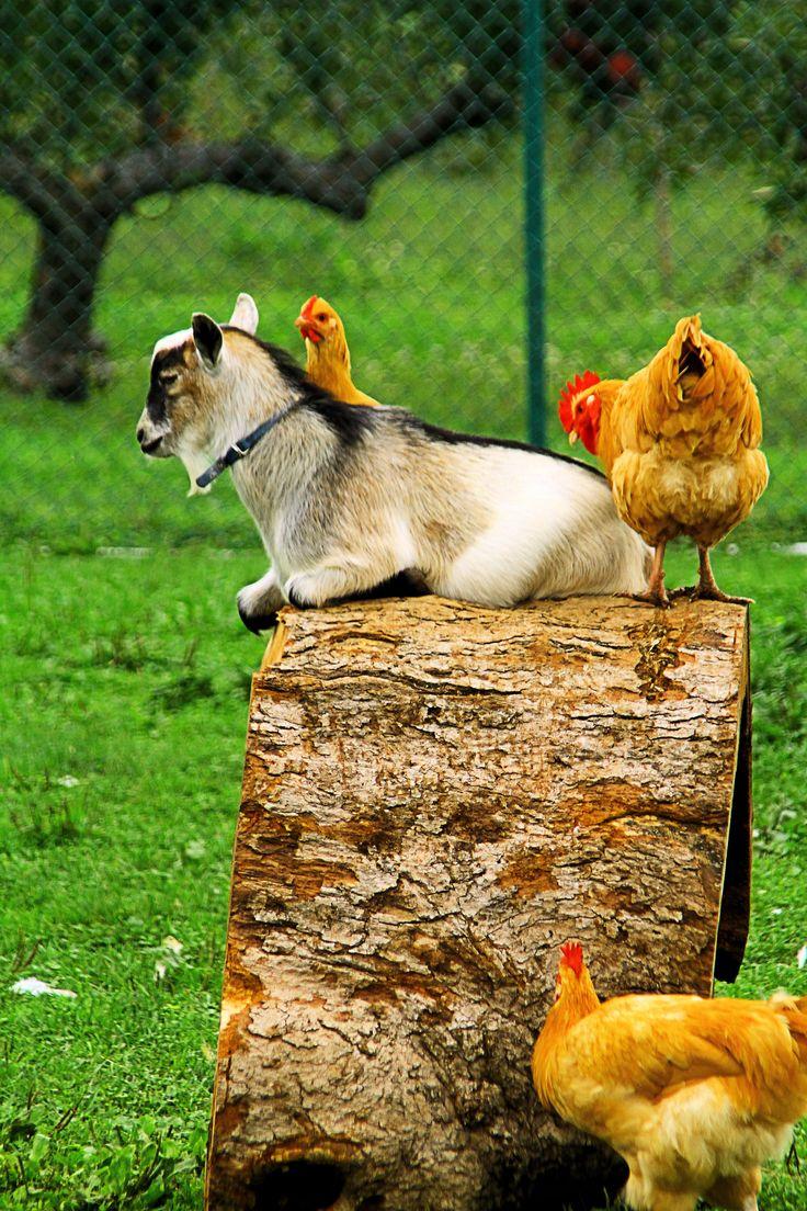 la chèvre et les poules