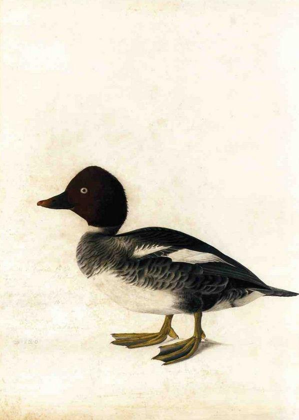 Cave to Canvas, John James Audubon, Redhead Duck, n.d.