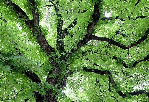 Splashes of Joy — luxloves: Chestnut tree (by Helena Normark)